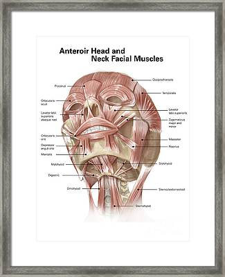 Anterior Neck And Facial Muscles Framed Print by Alan Gesek