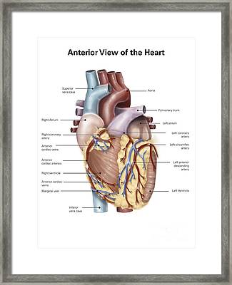 Anterior View Of The Human Heart Framed Print by Alan Gesek