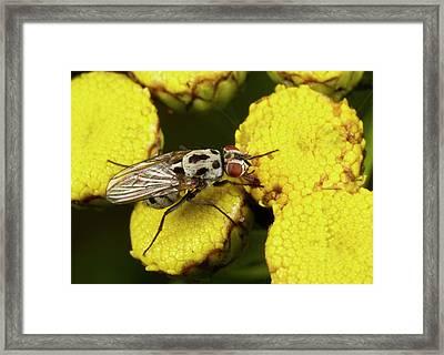 Anthomyiid Fly Framed Print by Nigel Downer