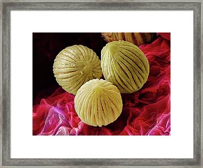 Anthurium Sp. Pollen (sem) Framed Print by Power And Syred