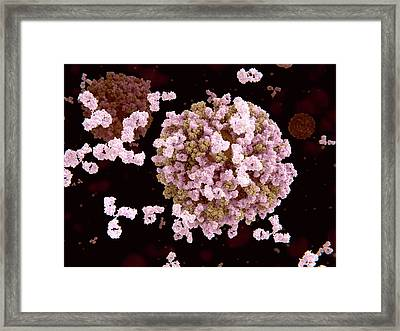 Antibodies And Flu Viruses Framed Print by Juan Gaertner