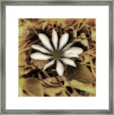Antique Bloodroot Framed Print by Skip Willits