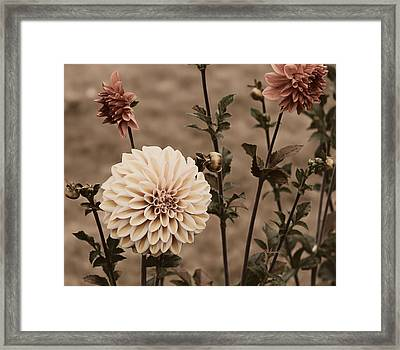 Antiqued Dahlias Framed Print by Jeanette C Landstrom