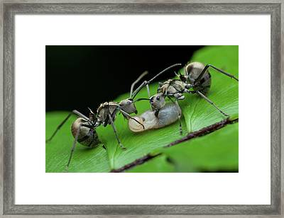 Ants Carrying Larvae Framed Print by Melvyn Yeo