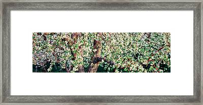 Apple Blossom Flowers, Quebec, Canada Framed Print by Panoramic Images