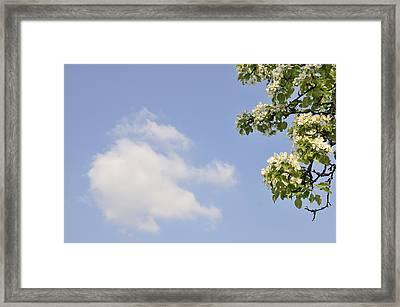Apple Blossom In Spring Blue Sky Framed Print by Matthias Hauser