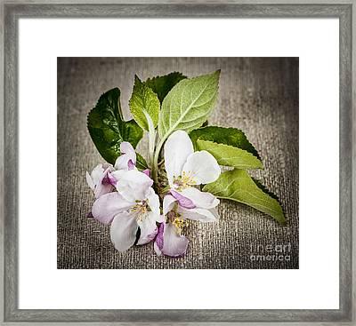 Apple Blossom On Linen Framed Print by Elena Elisseeva