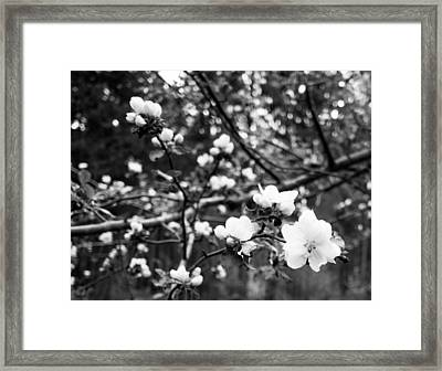 Apple Blossoms Framed Print by Aaron Aldrich