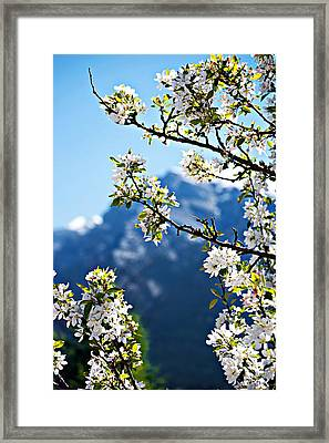 Apple Blossoms Frame The Rockies Framed Print by Lisa Knechtel