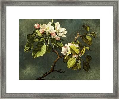 Apple Blossoms Framed Print by Martin Johnson Heade