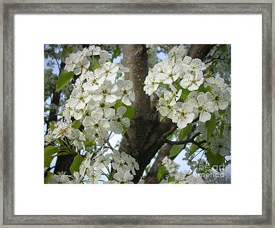 Apple Blossoms Framed Print by Randi Shenkman