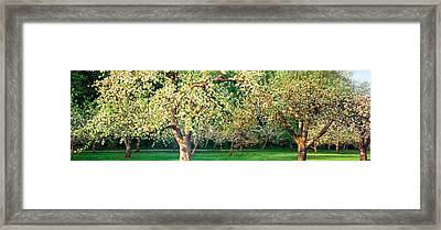 Apple Orchard, Quebec, Canada Framed Print by Panoramic Images