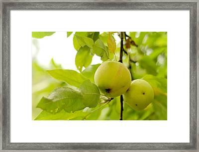 Apple Taste Of Summer 3 Framed Print by Jenny Rainbow