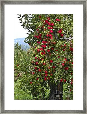 Apple Tree Framed Print by Anthony Sacco