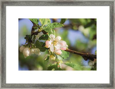 Apple Tree Blossom - Vintage Framed Print by Hannes Cmarits