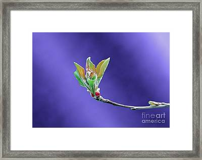 Apple Tree Blossom Spring Flower Bud Framed Print by ImagesAsArt Photos And Graphics