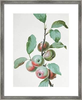 Apples Framed Print by Pierre Joseph Redoute