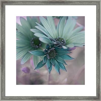 Aqua Gerberas Framed Print by Bonnie Bruno