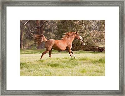 Arabian Horse Running Free Framed Print by Michelle Wrighton