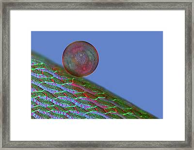 Arcella Sp. Framed Print by Marek Mis