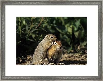 Arctic Ground Squirrel, Denali National Framed Print by Gerry Reynolds