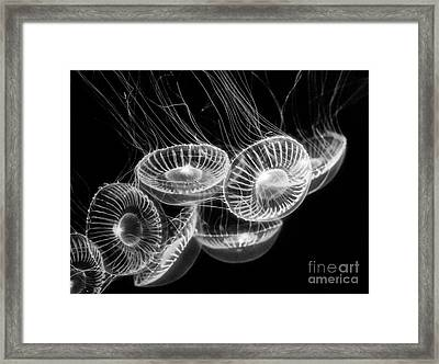Area 51 - Moon Jellies Aurelia Labiata Framed Print by Jamie Pham