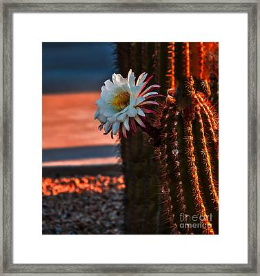 Argentine Cactus Framed Print by Robert Bales