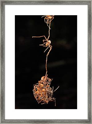 Army Ants Building Bivouac Framed Print by Mark Moffett