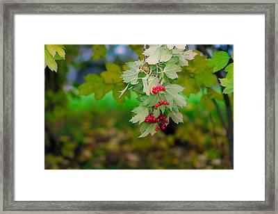 Arrowwood Berries 2 Featured 3 Framed Print by Alexander Senin