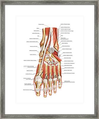 Arterial System Of The Foot Framed Print by Asklepios Medical Atlas