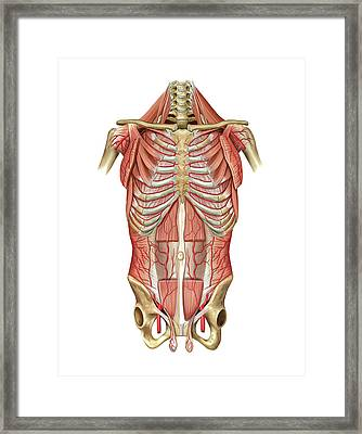 Arterial System Of Thoraco-abdominal Wall Framed Print by Asklepios Medical Atlas