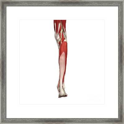 Arteries, Nerves And Muscles Of Leg Framed Print by Medical Images, Universal Images Group