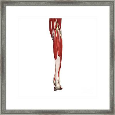 Arteries, Nerves, Muscles Of Leg Framed Print by Medical Images, Universal Images Group