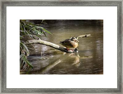 Artistic Paintiry Female Mallard Duck Sitting On A Log Near And Reflected In Water Framed Print by Leif Sohlman