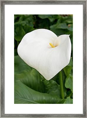 Arum Lily (zantedeschia Aethiopica) Framed Print by Bjanka Kadic