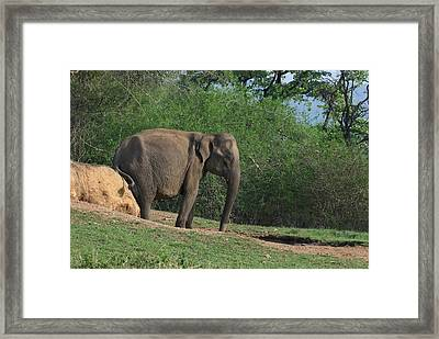 Asian Elephant Scratching Itself Framed Print by K Jayaram