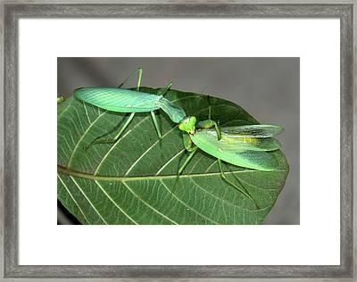 Asian Mantis Eating Her Mate Framed Print by K Jayaram