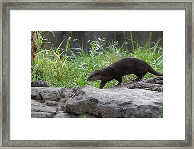 Asian Small Clawed Otter - National Zoo - 01135 Framed Print by DC Photographer