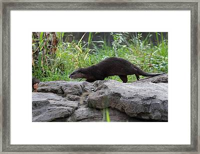 Asian Small Clawed Otter - National Zoo - 01136 Framed Print by DC Photographer