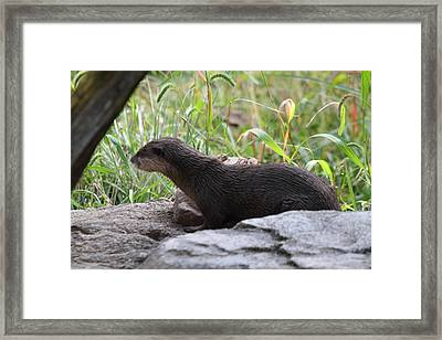 Asian Small Clawed Otter - National Zoo - 01138 Framed Print by DC Photographer
