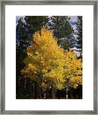 Aspen And Ponderosa Pine Trees Framed Print by Panoramic Images