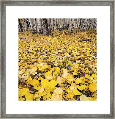Aspen Leaves Fallen On Ground Framed Print by Panoramic Images