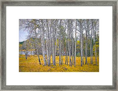 Aspen Tree Grove Digital Oil Painting Framed Print by Sharon Talson
