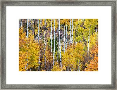 Aspen Tree Magic Framed Print by James BO  Insogna