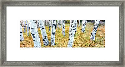 Aspen Trees In A Grove, Hart Prairie Framed Print by Panoramic Images