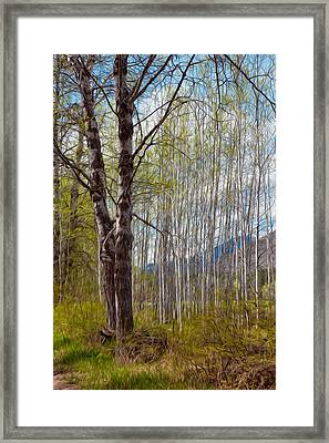 Aspen Trees Proudly Standing Framed Print by Omaste Witkowski