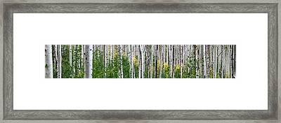 Aspen Trees Framed Print by Steve Gadomski