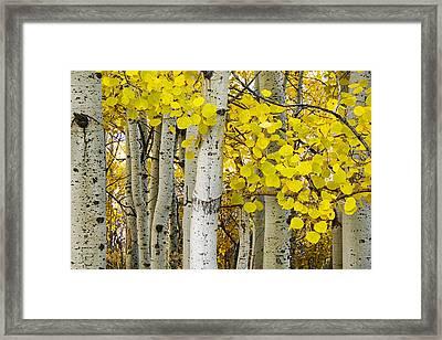 Aspens At Autumn Framed Print by Andrew Soundarajan
