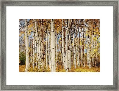 Aspens, Autumn, Zion National Park Framed Print by Michel Hersen