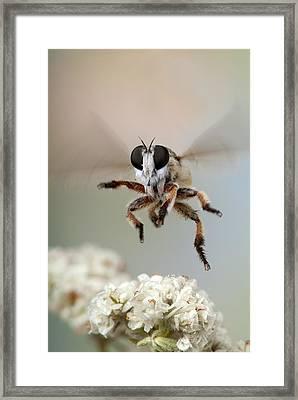 Assassin Fly Leaving Buckwheat Blossoms Framed Print by Robert Jensen